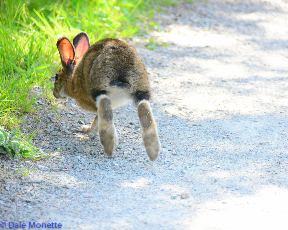 A snowshoe hare jets off to get away from me on the Skyline Trail. These guys have huge feet and I saw a great photo op by walking up behind them.
