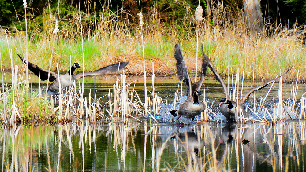 Canada geese do battle for territories in beaver ponds and sections of the main reservoir. The battles end with one pair being driven off.