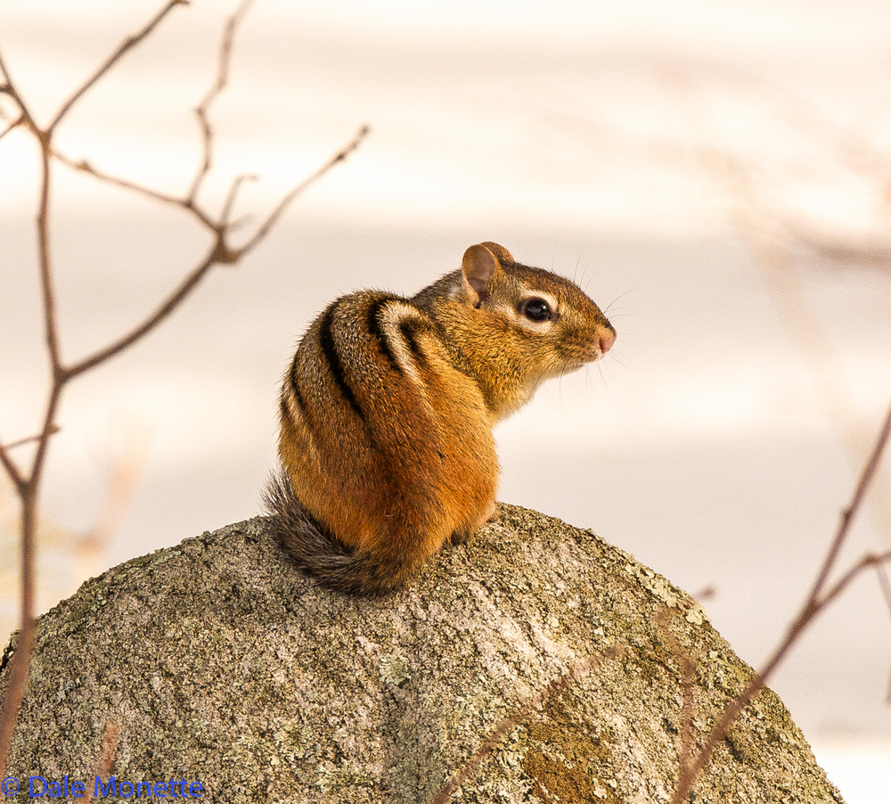 A chipmunk enjoying the warm spring sun after the long winter of 2015.