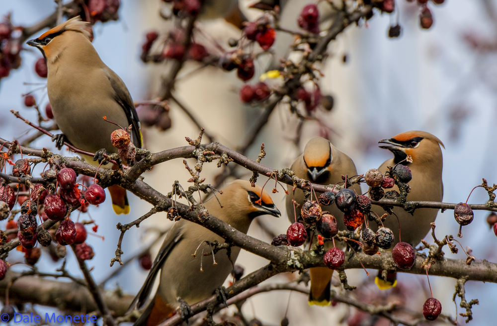 Another Bohemian waxwing photo.