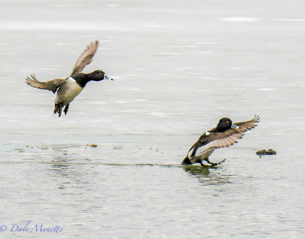Ringed-neck ducks