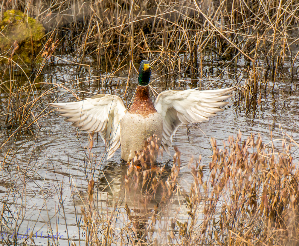 I caught this male mallard taking a bath and then preening. He was so busy he never heard me sneaking up on him.