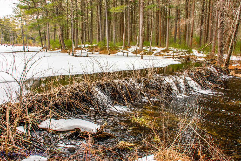 The west branch of Fever Brook dumps into the Quabbin from this beaver pond below Soapstone Mountain.