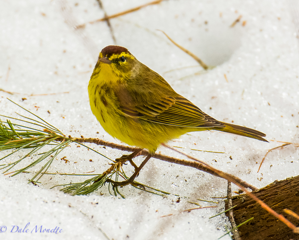 Palm warblers are some of the earliest warblers to arrive at Quabbin in the spring. These birds constantly flick their tails up and down.