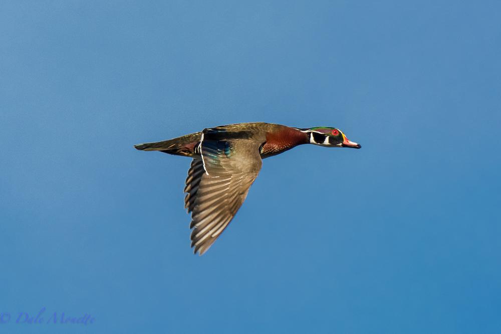 Wood duck jet