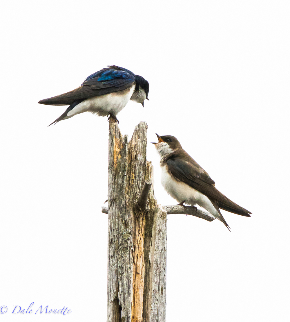 Tree swallows….