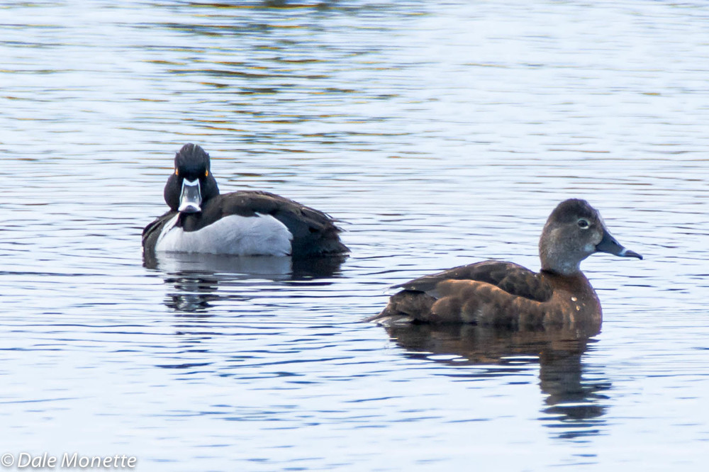 Ring necked ducks