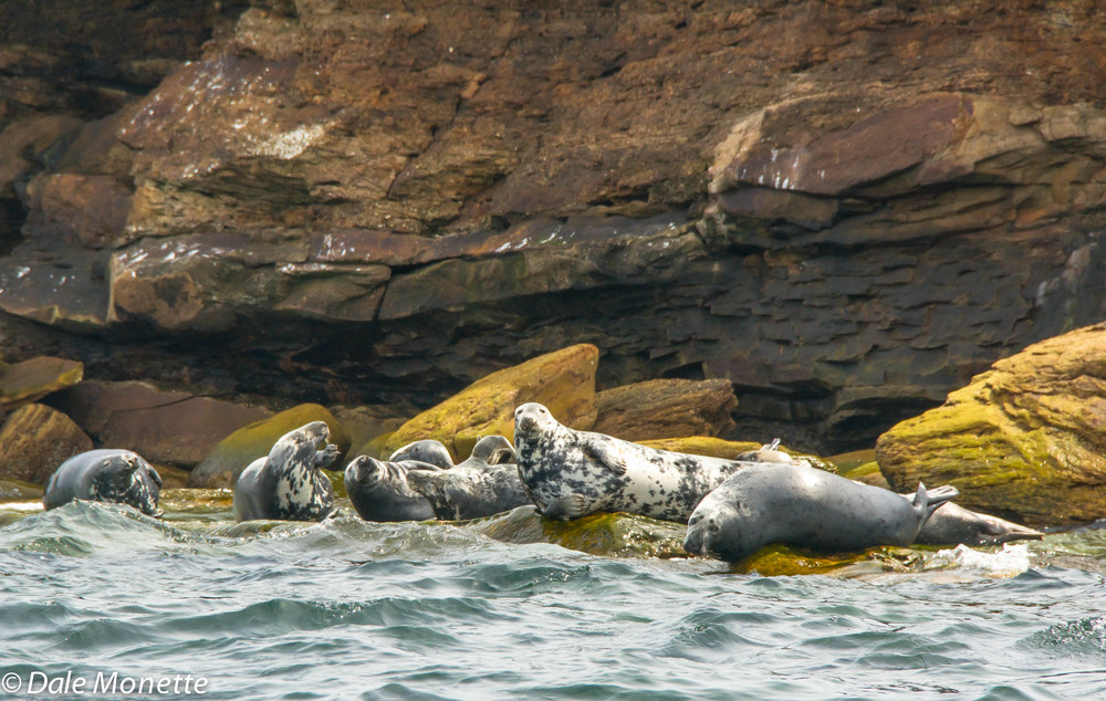 male grey seals