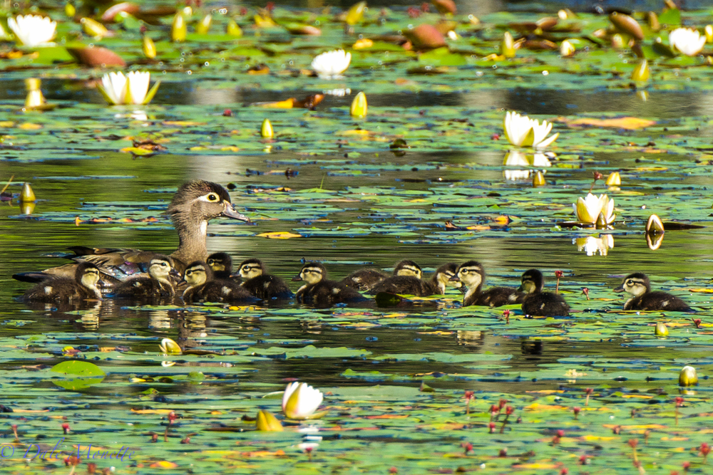 Female wood duck and eleven chicks