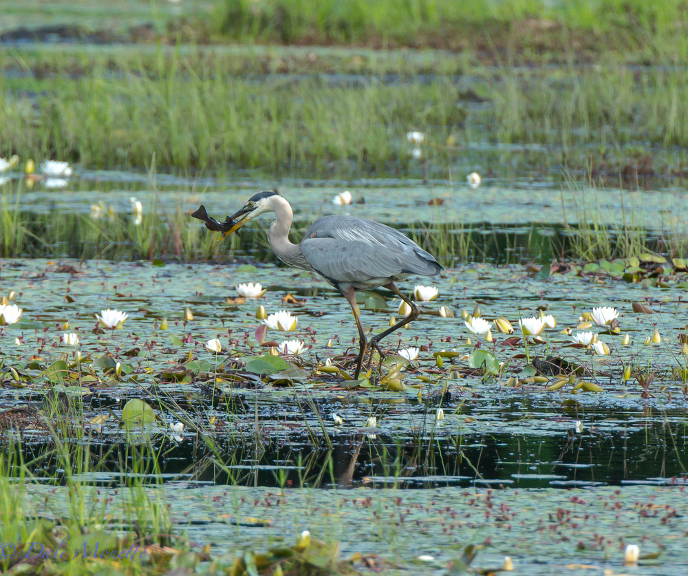 GB heron with lunch !