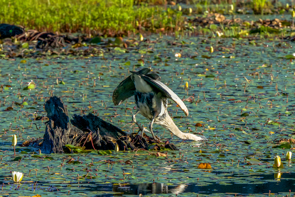 Yum yum,  fresh fish !  A great blue heron strikes out at a fish from a good fishing stump.  7/25/15