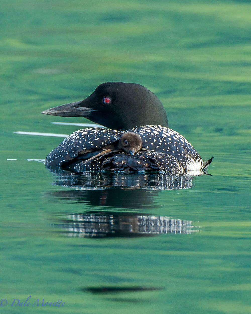 A day old loon chick hooks a warm ride with dad under his wing.  They will do this for 2 weeks or so after hatching.   7/29/15