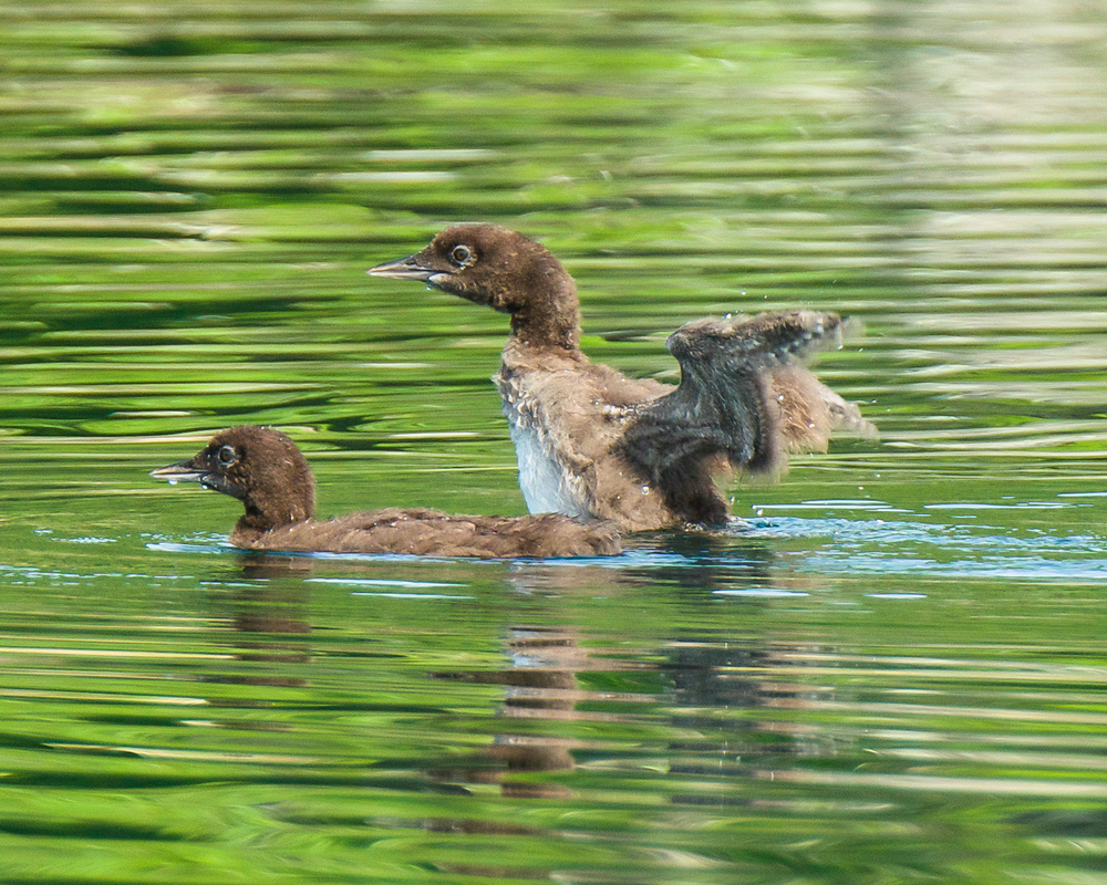 Young loons stretching their muscles.  They will do this all of their lives.  These two are 4 weeks old.   7/29/15