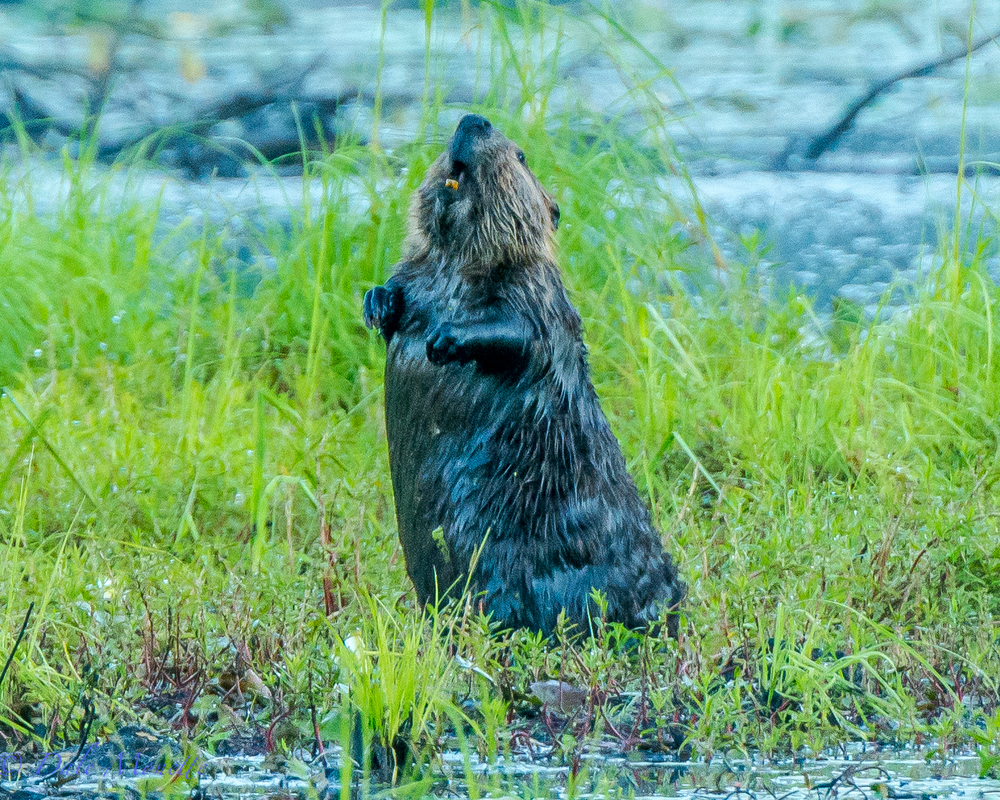 I have never seen a beaver out of the water and sniff me out until last week !  It was early morning and this beaver was eating green grass like a cow.  I was about 80 yards away and all of a sudden he stood straight up and sniffed a couple times and launched into the water.  8/10/15