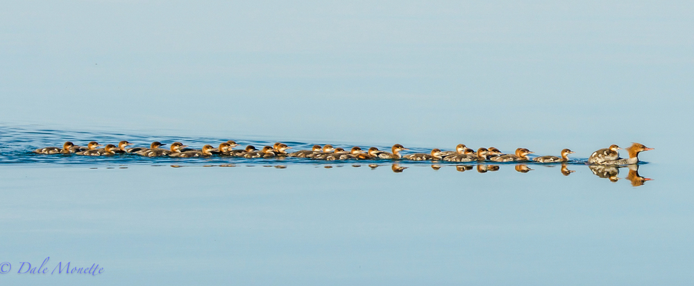 Large family of common mergansers