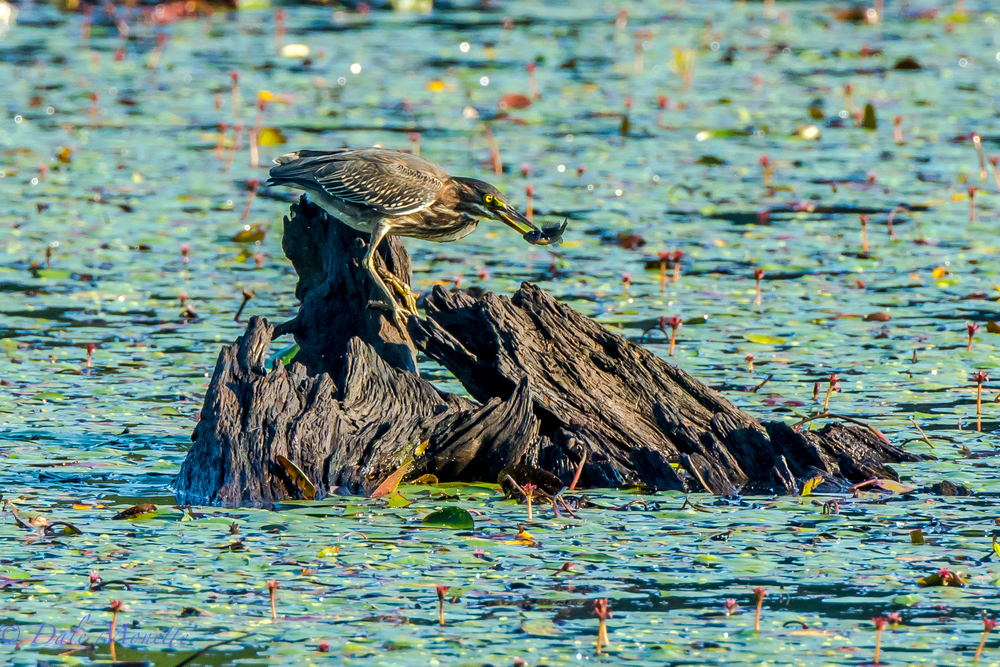 A green heron with his fish