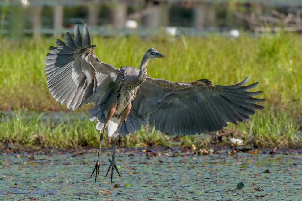 Full adult great blue heron comes in for a landing with a wing span of 7 feet.