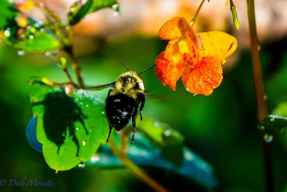 Bumble bee buzzing