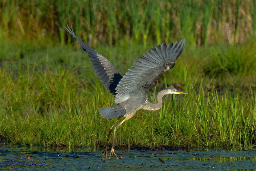 GB Heron on its take off…… can't resist taking pictures of these fabulous birds. 9/15/15