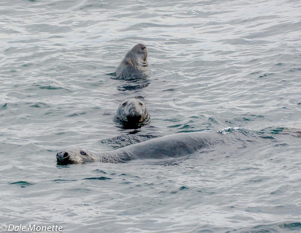 Gray seals