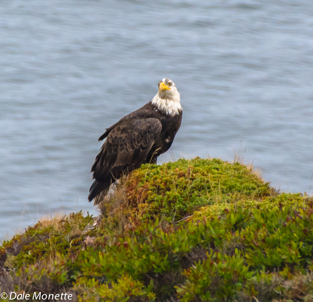 The first thing this morning I saw this eagle sitting on a hump overlooking the Aspy Bay.  He watched me as I watched him.  I took a couple of quick photos and he left.  You can see he is not a full adult by the dirty look with his head feathers.  10/12/15