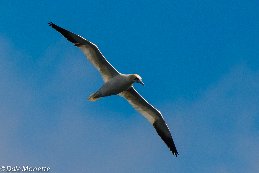 Gannets love to soar on the high winds......