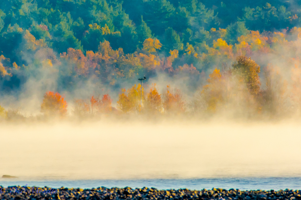 An adult bald eagle sits on an osprey nesting platform at Quabbin watching the fog disappear with the early sunrise.  10/27/15