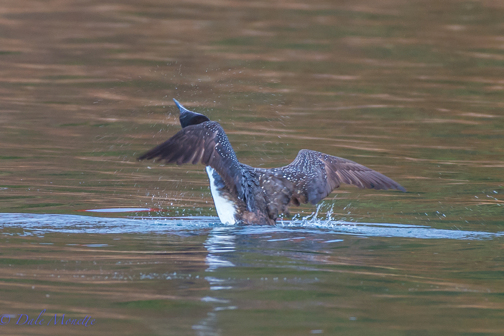 An adult loon shaking off excess water after a dive.  10/30/13