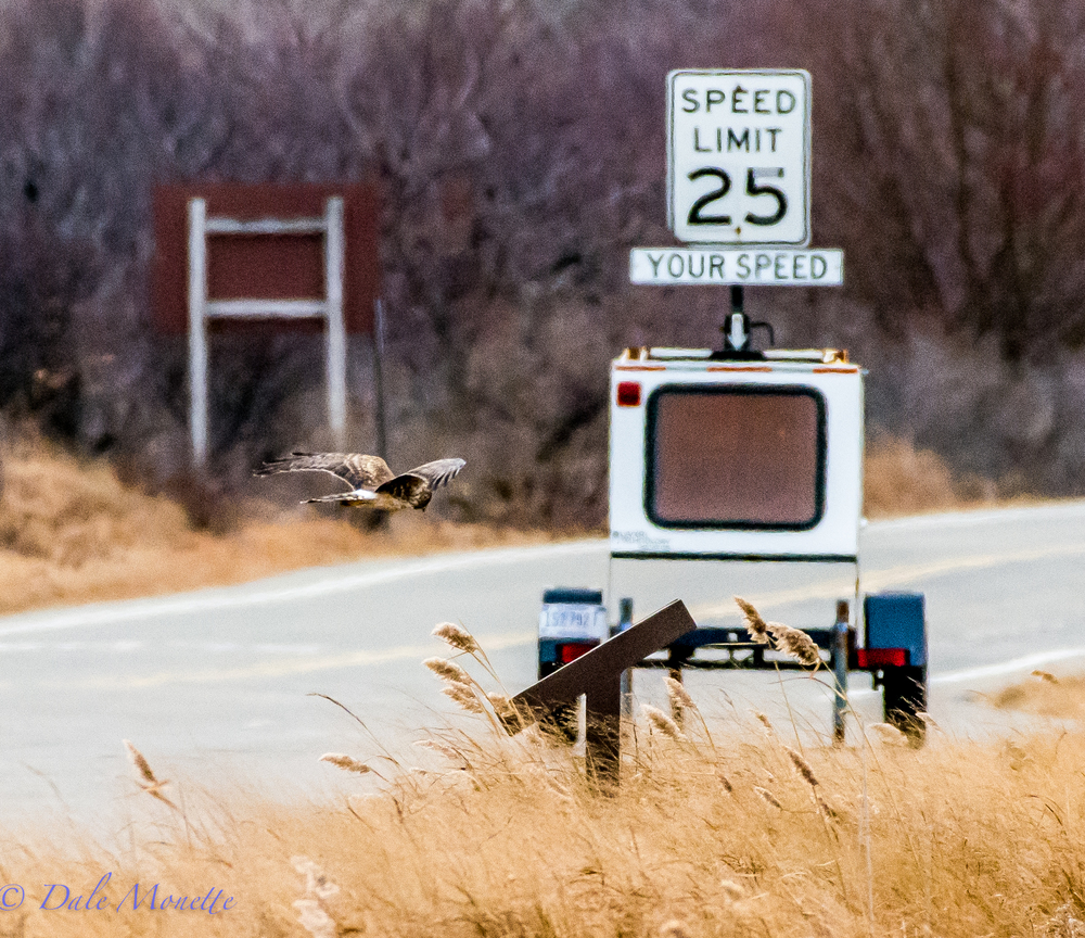 The proof is here in this photo.  Harriers do not break the speed limit !!  :)  Plum Island, 12/21/15