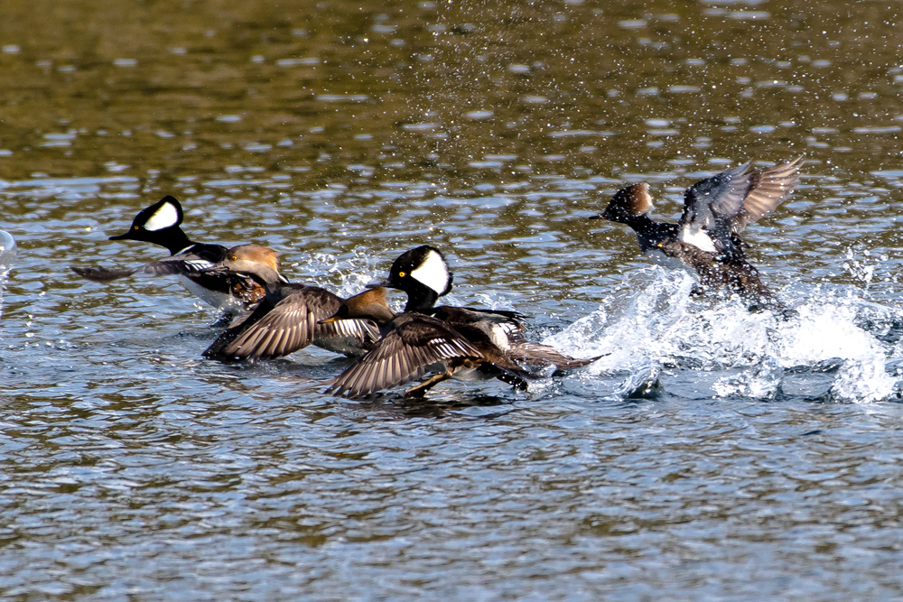 Hooded merganser taking off from Lake Mattawa today, Orange MA.  1/2/16