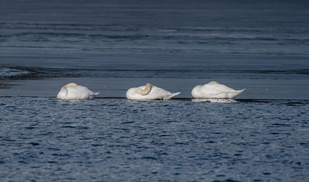 Three mute swans catching some sun and sleep on the CT. River today in Turners Falls.