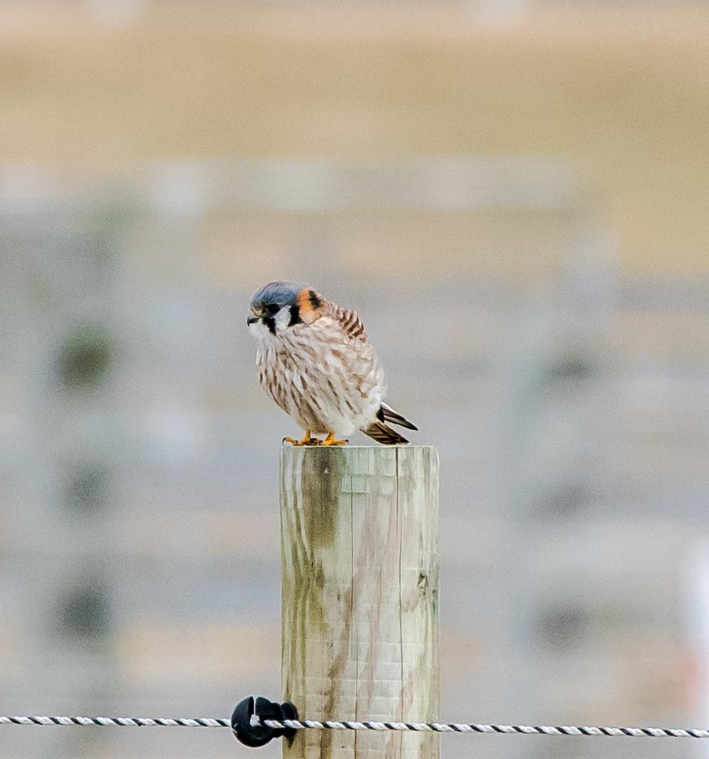 Kestrel (sparrow hawk)