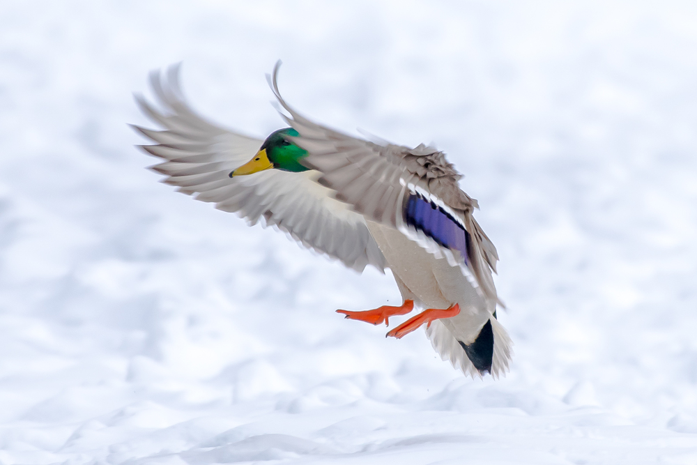 A male mallard duck comes in for a landing along the shore of the Connecticut River in Turners Falls. MA.  I think mallards are a real beautiful duck.  2/10/16