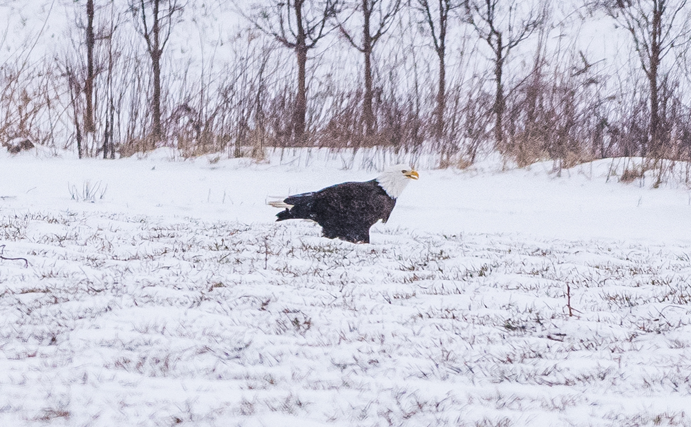 This adult bald eagle was eating the remains of a mouse in a snow storm that a northern harrier had caught about an hour earlier. This was a huge bald eagle !!   Hadley MA  2/15/16