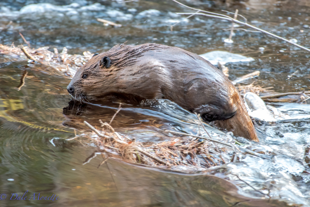 I watched 2 young beavers at Quabbin out in a fast running stream below their pond for about an hour this morning. One decided to head back home and had to swim over 3 smaller dams  and by me to get to the main pond behind their big dam.  2/19/16