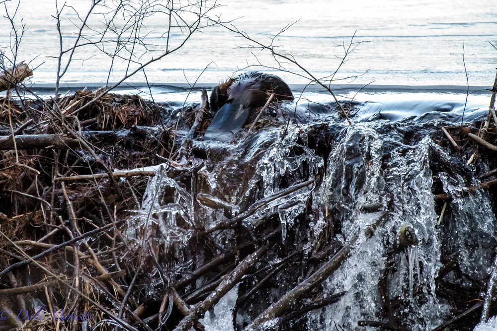 And into his pond he goes home to the family again. Due to his size I believe this is a young beaver probably last winters kit. 2/18/16