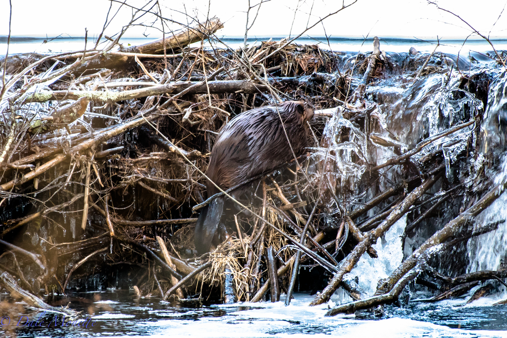 As his journey back to the lodge nears its end he has the main dam to climb over.  Its very unusual to see beavers out in the winter but this winter has been very mild with not a lot of ice on their ponds and streams. 2/18/16