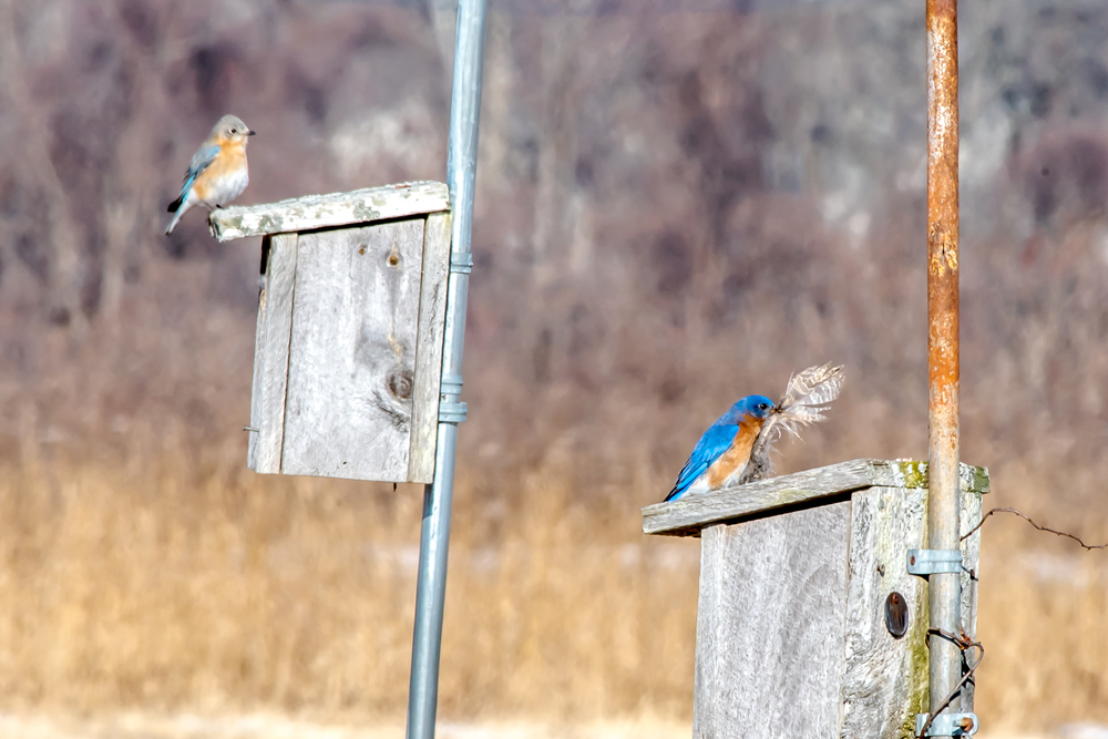 Here is the same male bluebird with a feather trying to decide what house to put it in while his mate watches and wishes he's hurry up and make up his mind.  2/19/16