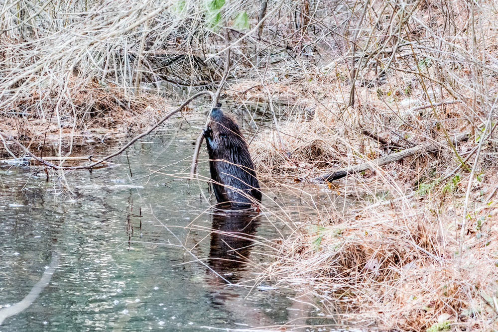 I went back to see if the beavers I found out on the ice last Friday were back. There was only one. He picked his breakfast right in front of me and munched it down. 2/21/16