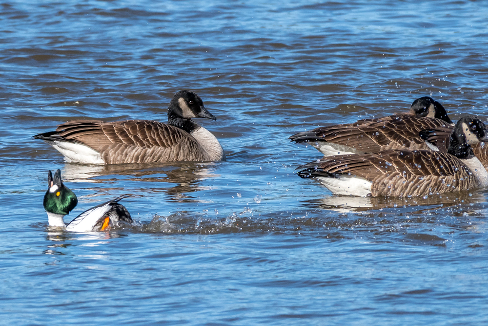 This golden eye duck seems to have something to say to these Canada geese on the CT. River this afternoon. This is probably the equivalent to kicking sand in the bigger guys faces!  2/26/16