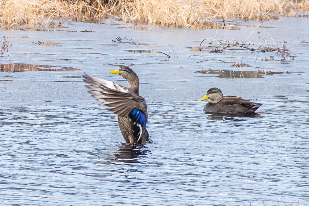 A pair of black ducks on one of the finally opened ice free beaver ponds in the Quabbin watershed.  2/29/16