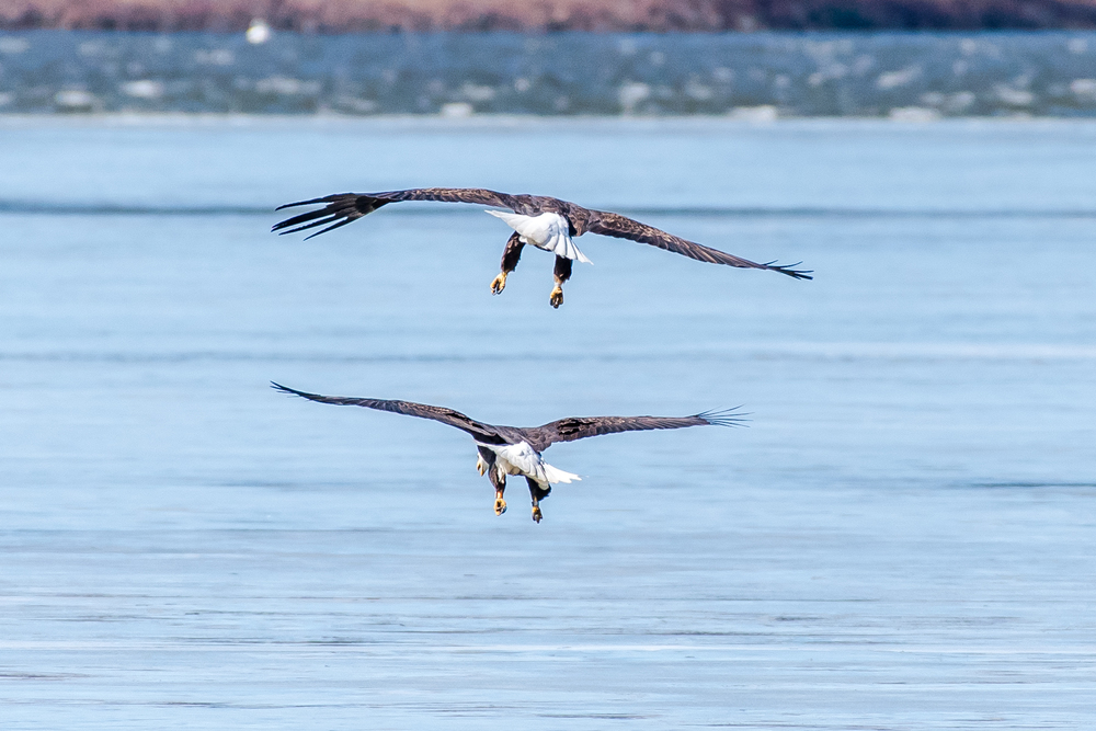 I was in Bartons Cove on the CT River this morning and this pair of eagles dropped in to say hi to me, at least thats what I thought.  They then proceeded to do X rated things on the ice !!  Eggs soon !  3/2/16