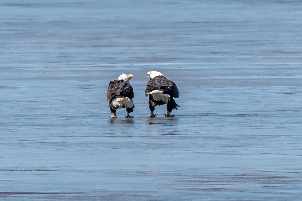 These two eagles were discussing how many kids they wanted!  Barton's Cove, Turners Fall on the Connecticut River.  The male is on the left.  As in all birds of prey the males are smaller than the females.   3/2/16