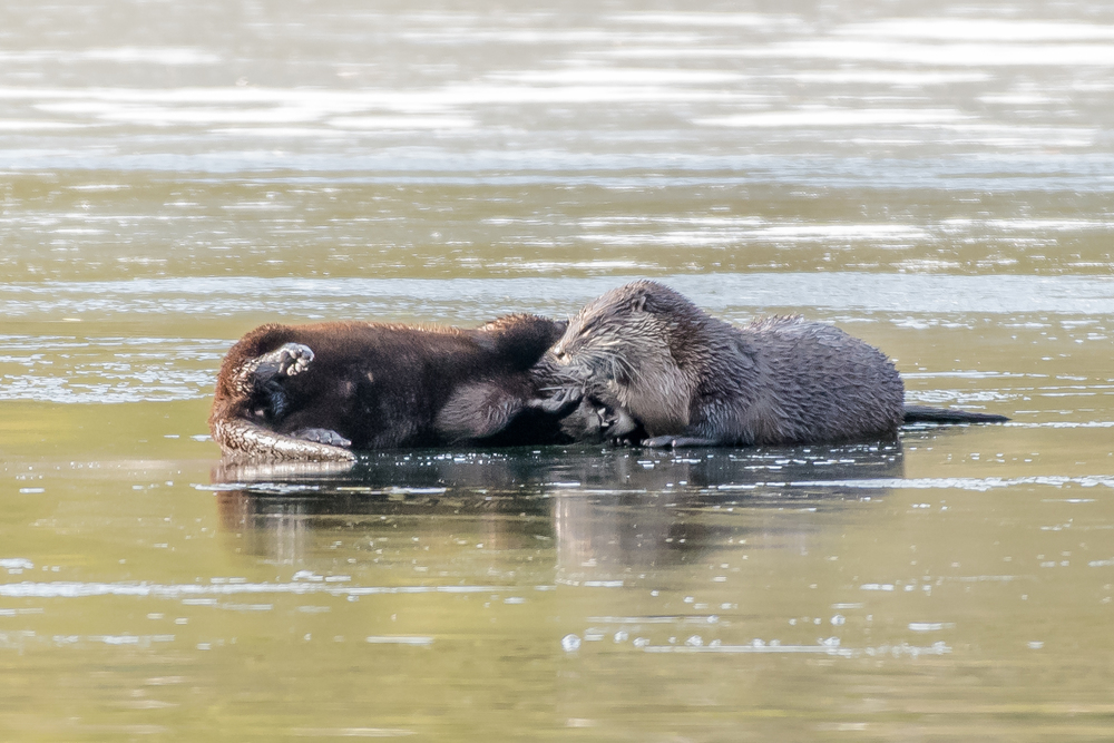 "Nothin like a ""good ole wrasslin match"" with a family member on the ice during breakfast.  Notice the mouth full of teeth just below the otter on the right's neck !"