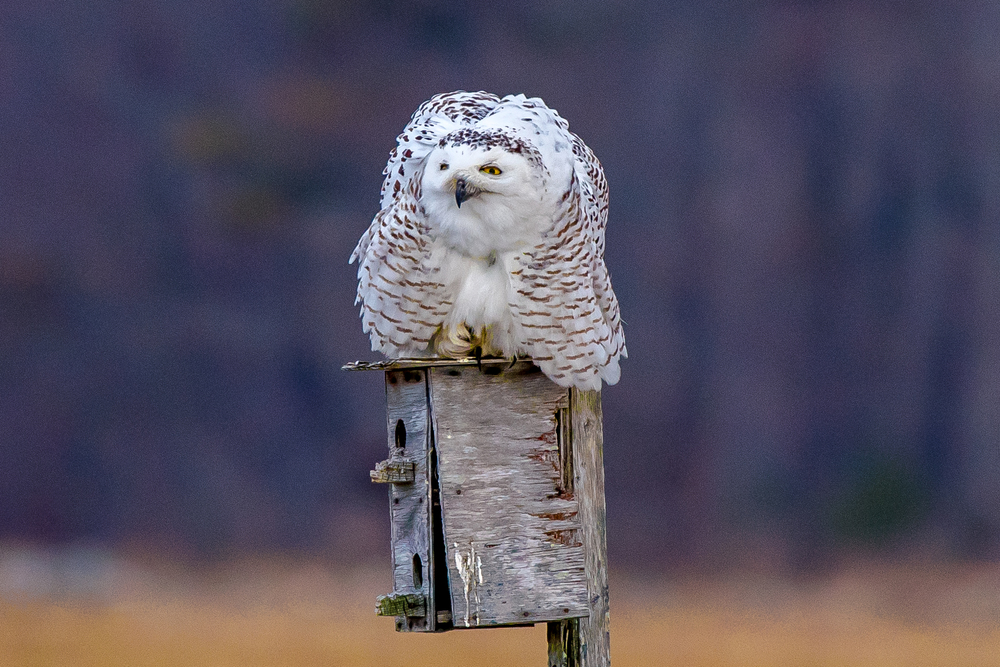 A snowy owl sitting on a bird house along the New Hampshire coast.  These owls will be heading back north soon.  3/7/16
