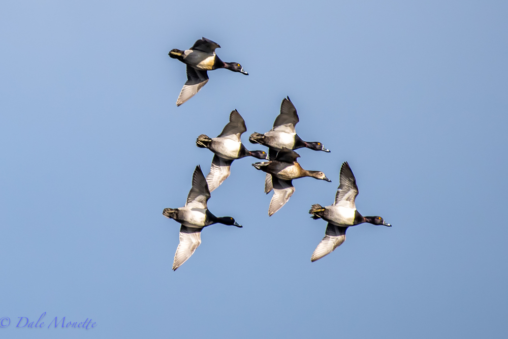 """Look, up in the air, Its the Navy's Blue"" .... err  ring necked ducks!  They are all over the place this morning.  They are very common during migration both in the spring and fall, but do not nest here.  In this photo you can see the ring around their neck you very seldom see. 3/11/16"