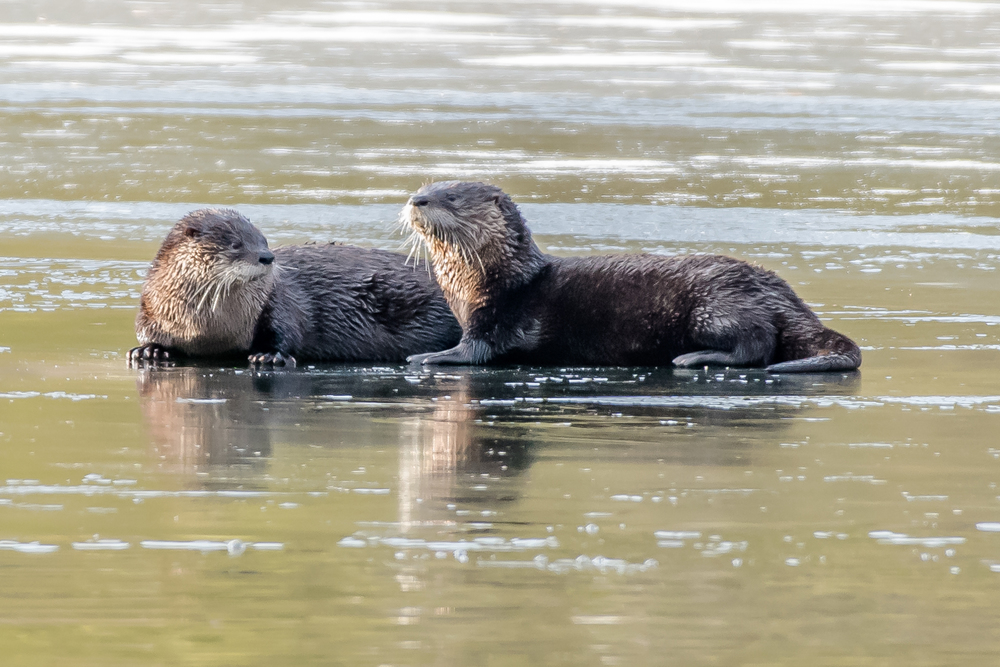 A close look at the faces of the river otters,  cute huh?