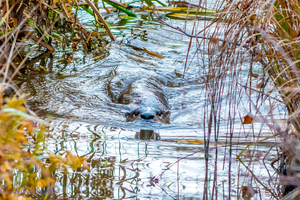 I was walking up a dirt road by a beaver pond early one morning in the fall and heard this racket coming from the outfall ditch from the pond.  I spotted this otter going back and forth in the ditch fishing for small fish or frogs.