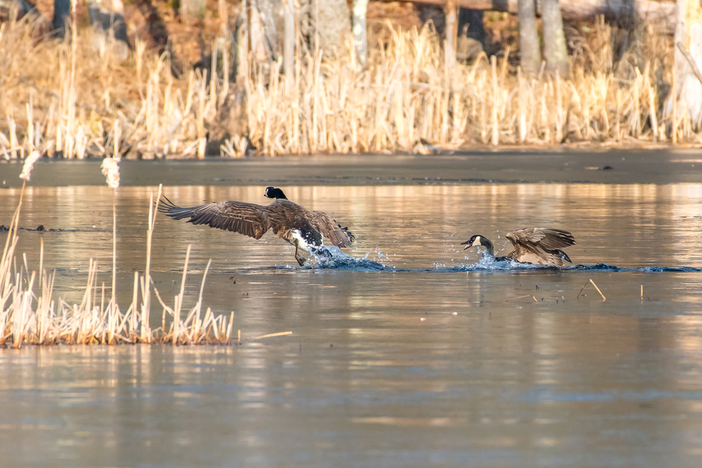 Here is one more Canada goose shot of the interloper being driven out of the pond that was already claimed.  3/13/16