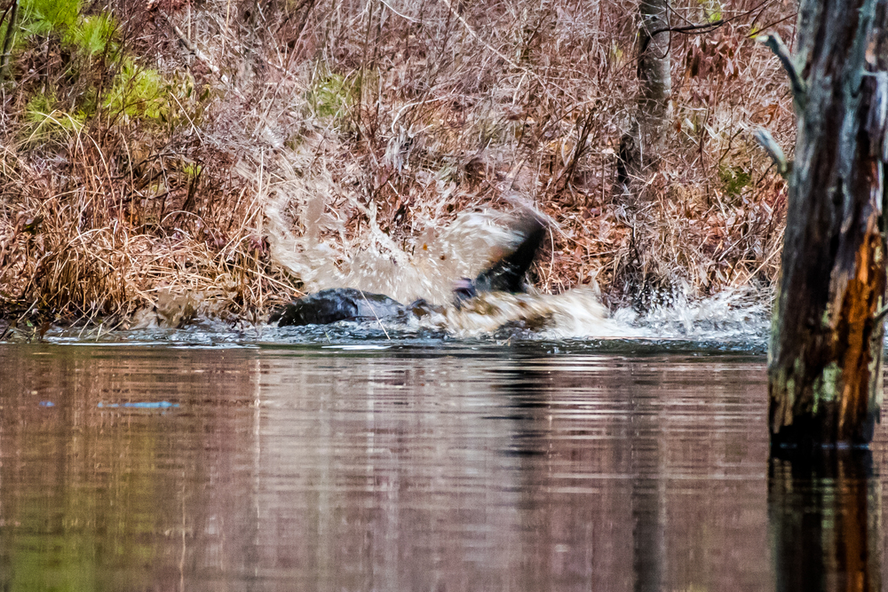 Today I watched 2 beavers duke it out. Over what Im not sure but this went on for 20 minutes or so, then they both swam away...... ! 3/16/16